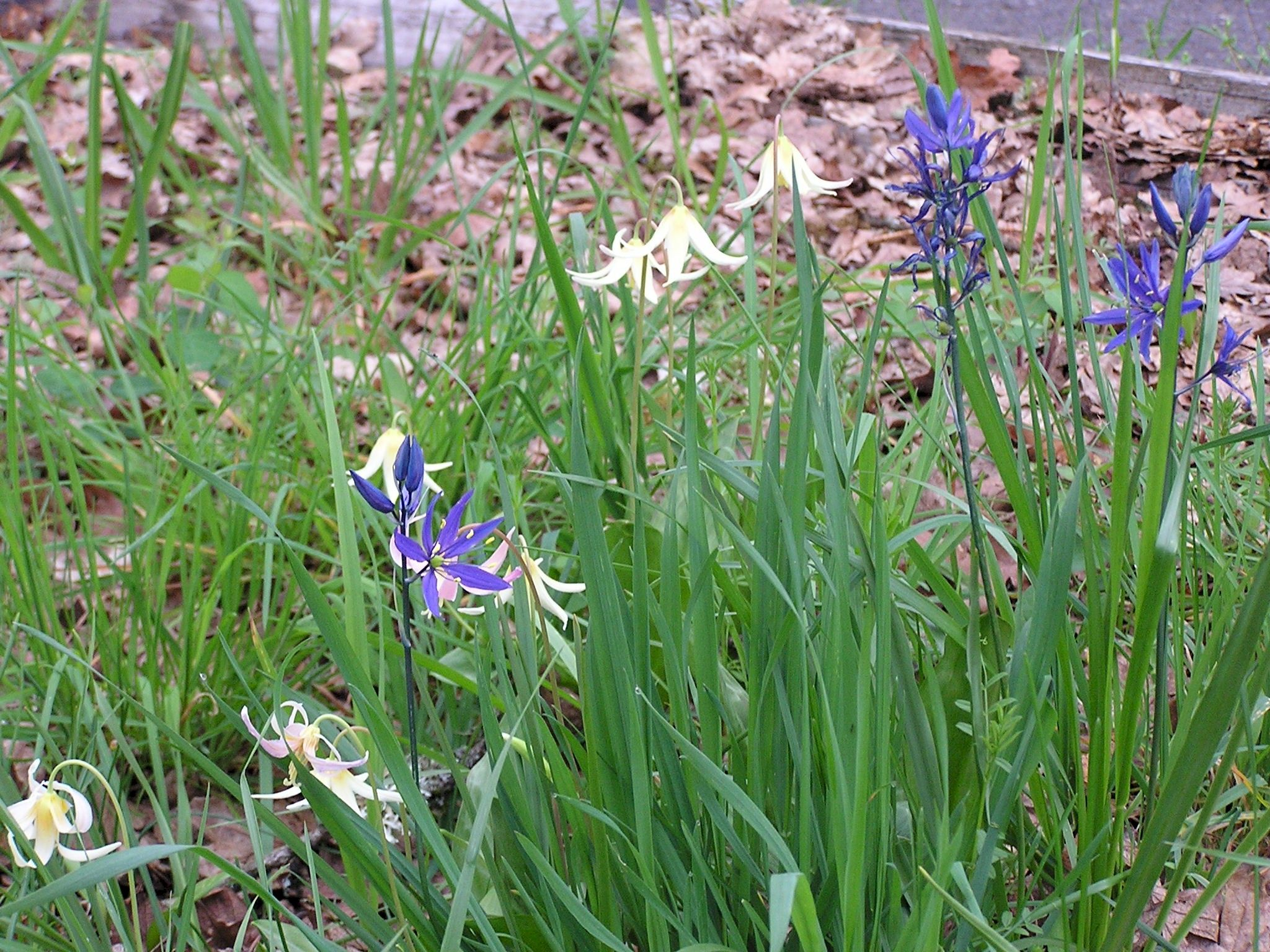 Pacific Northwest Perennial Flowers Check Out The Free Plant