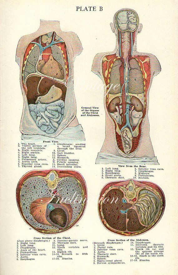 1911 GENERAL VIEW Of The ORGANS of the Chest and Abdomen plate B ...