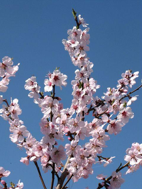 Almond Blossom Almond Blossom Blossom Cherry Blossom Tree