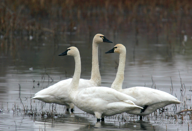Tundra Swans Arrive in the Central Valley in Winter