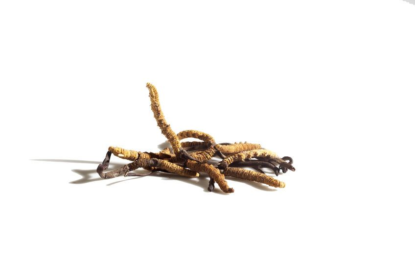 Cordyceps : le remède vitalité et longévité de l'Himalaya