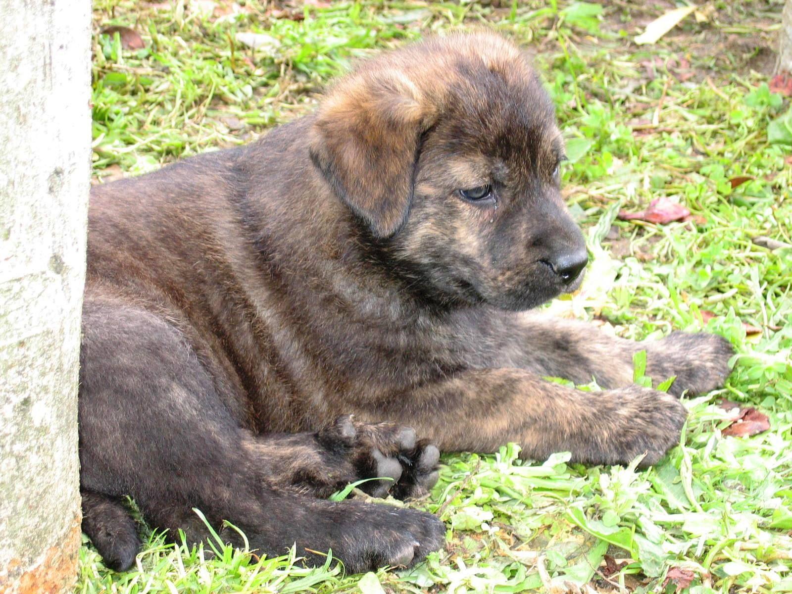 CAO DE CASTRO LABOREIRO/LABOREIRO WATCH DOG