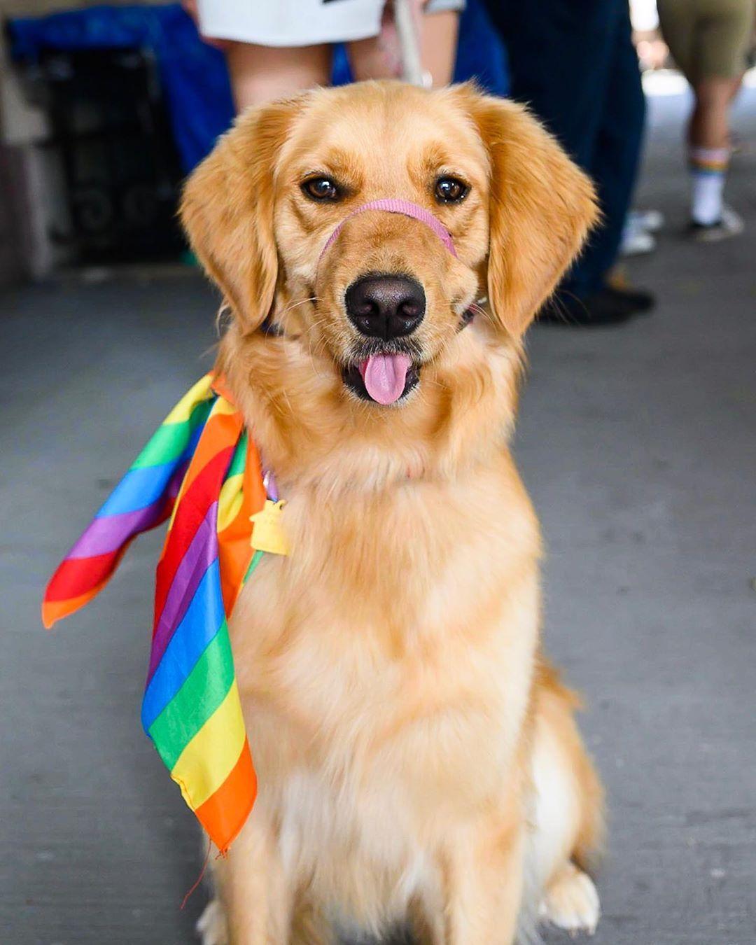Kennedy Golden Retriever 2 Y O Nyc Pride March New York Ny
