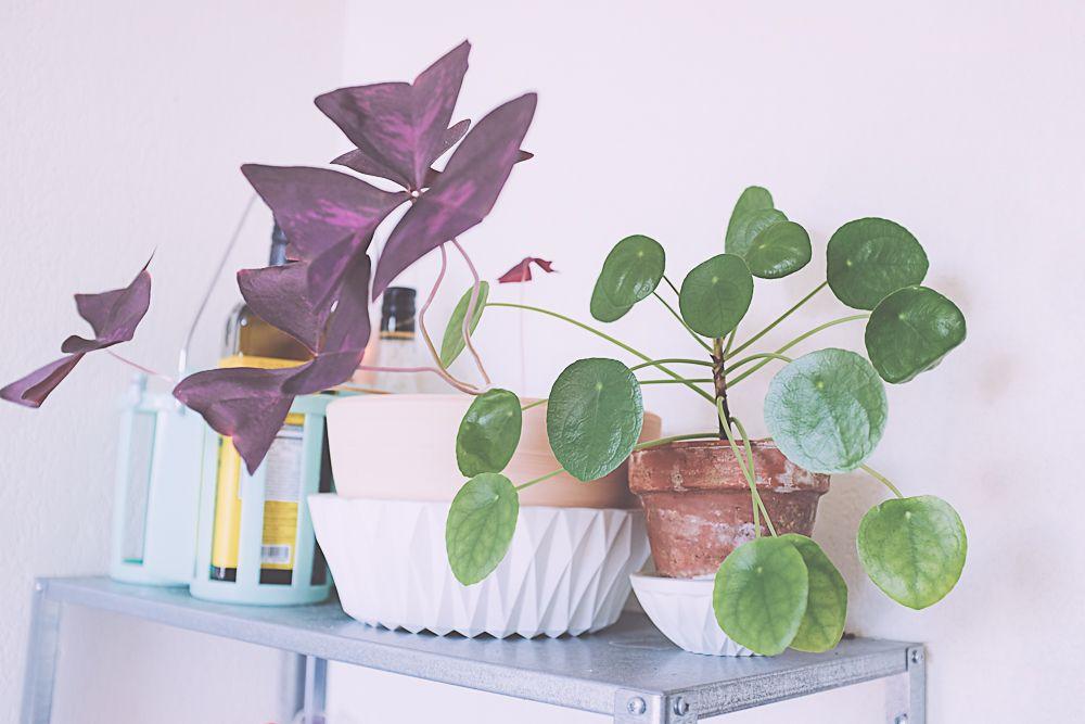 entretenir et bouturer un pil a p p romio des pouce vert. Black Bedroom Furniture Sets. Home Design Ideas