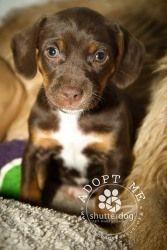 Dachshund Beagle Puppy Needs A Home Beagle Puppy Beagle Puppies