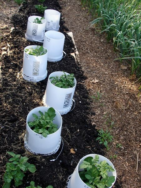 Growing Potatoes In Upside Down Buckets With Images Veggie