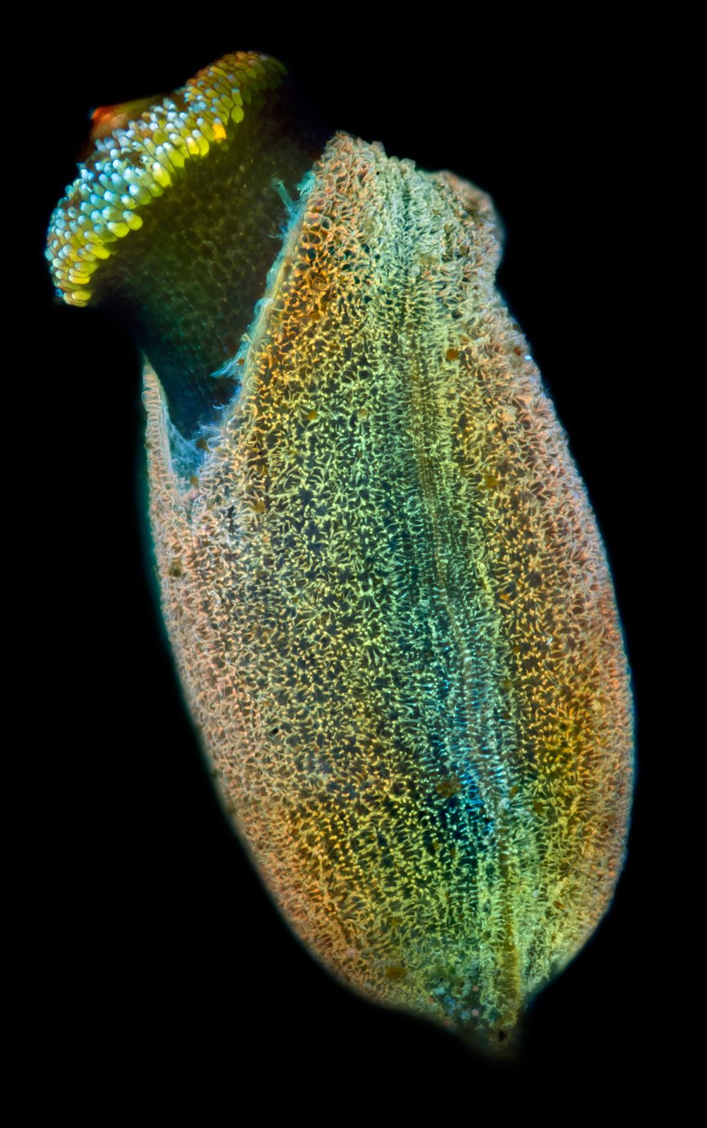 8. HONORABLE MENTION - Specimen: Plant seed from freshwater pond near Moscow, Russia. Technique: Fluorescence, 10x objective. (Daniel StoupinMoscow, Russian Federation)#
