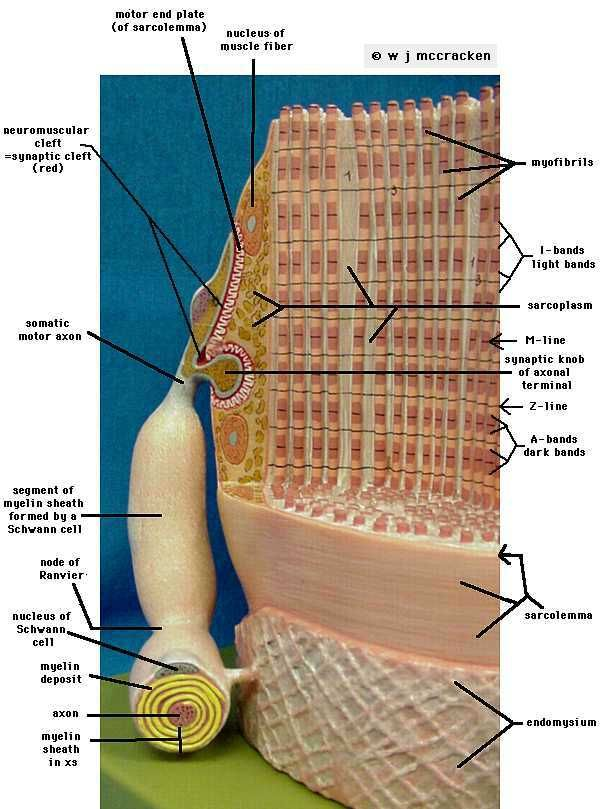 neuromuscular junction model labeled - Google Search ...