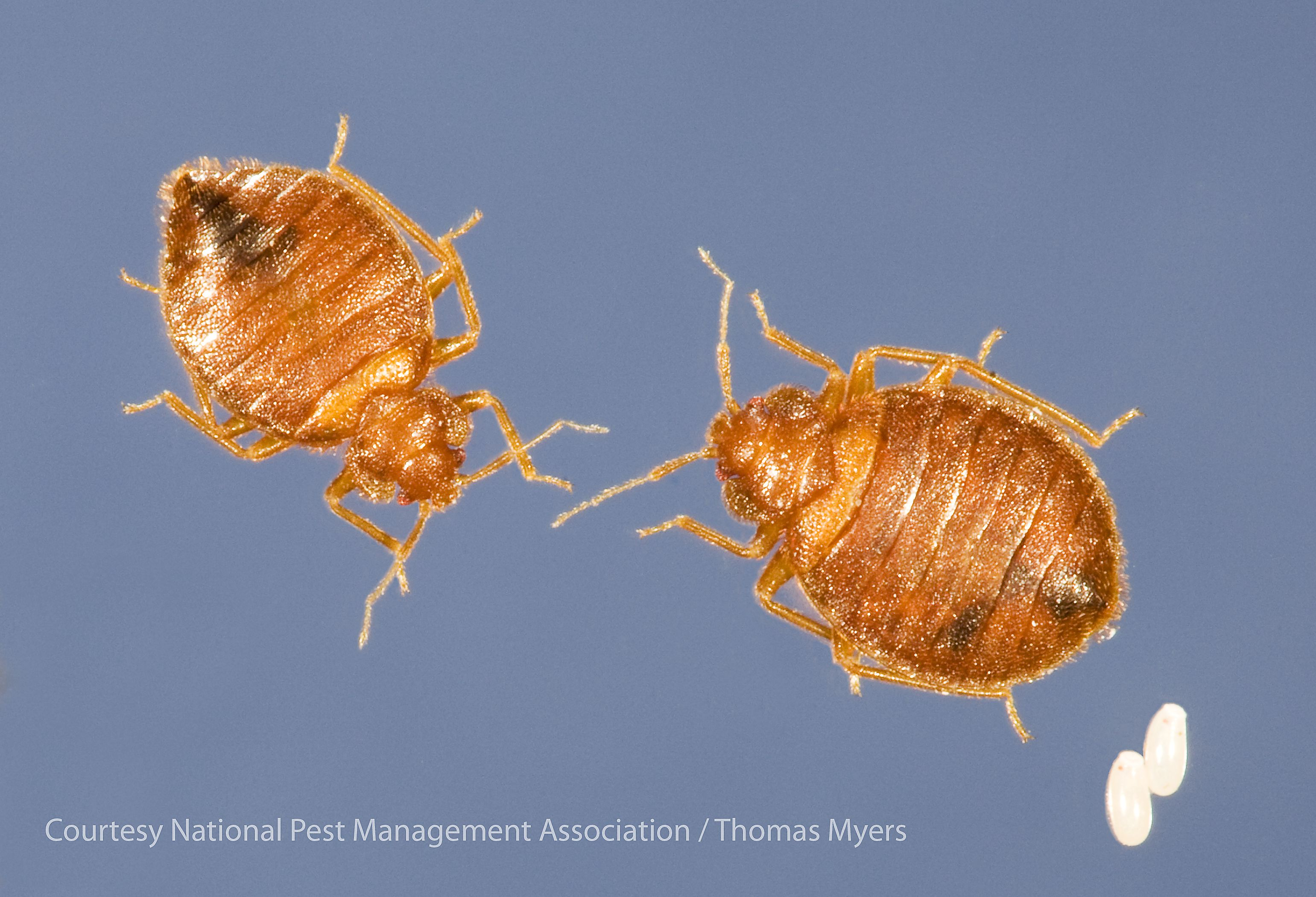 The Season of Love The Bug Lady Bed bugs, Bed bug size