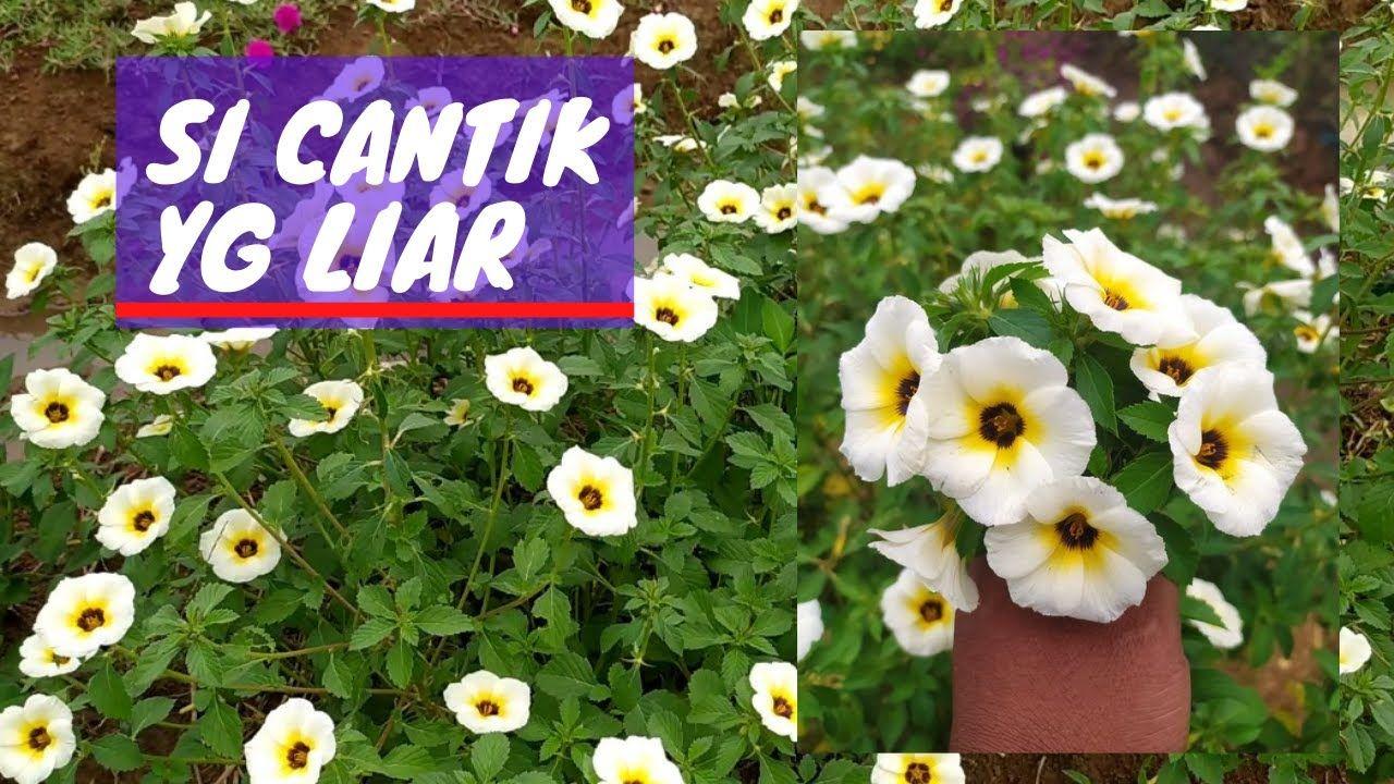 Pin Oleh Cibodas Farm Di Cibodas Farm Di 2021 Tanaman Bunga
