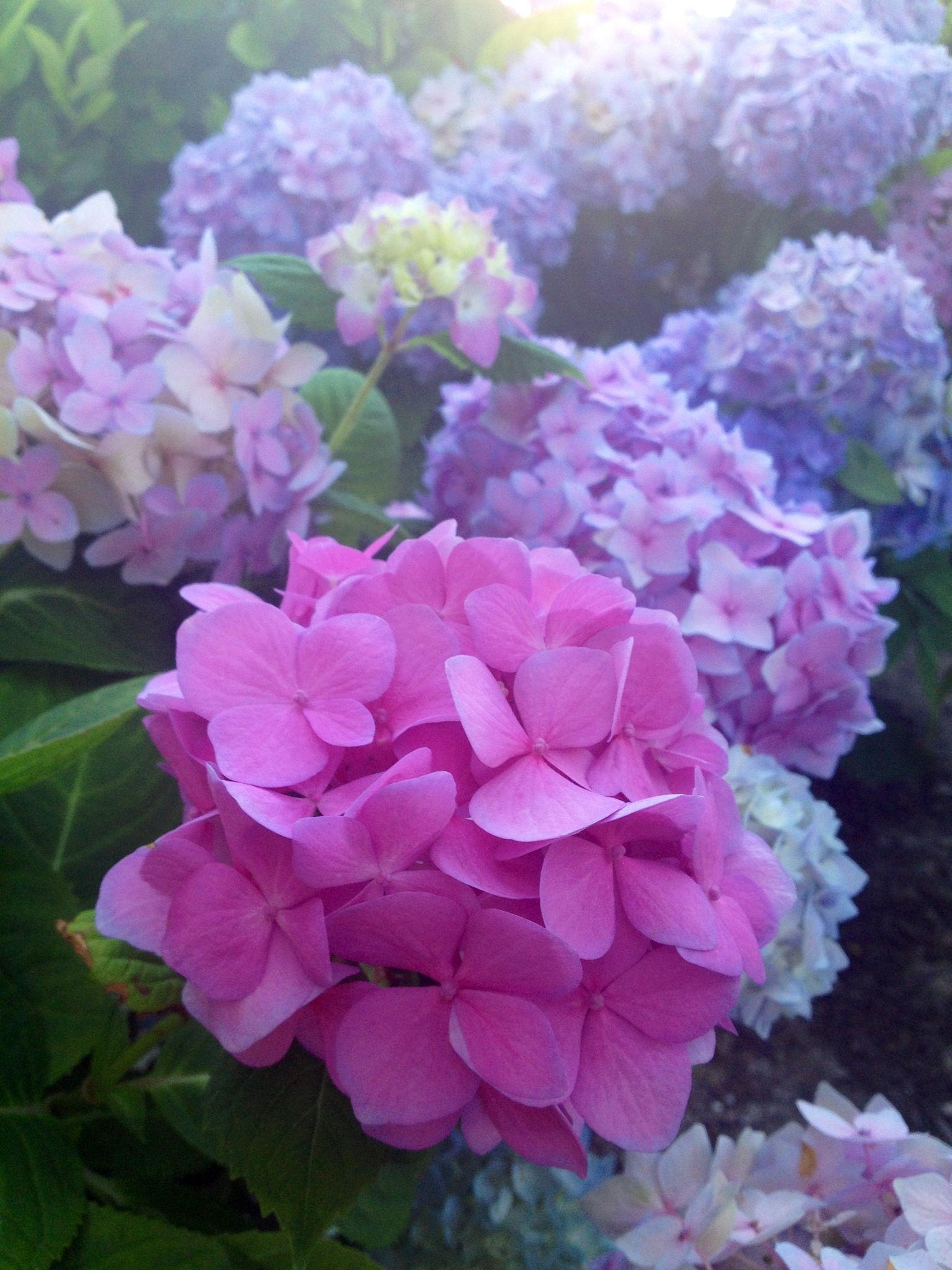 Hydrangeas Pretty Flowers Beautiful Hydrangeas Amazing Flowers