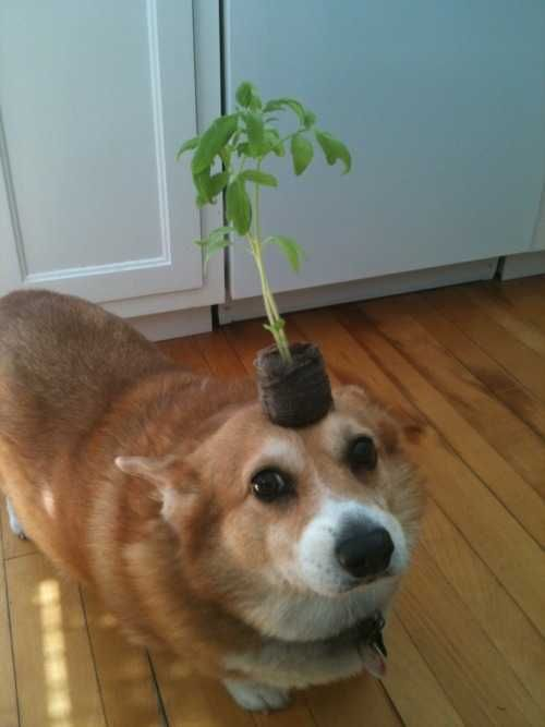 Things on Hazel the corgi's head to brighten your day ...
