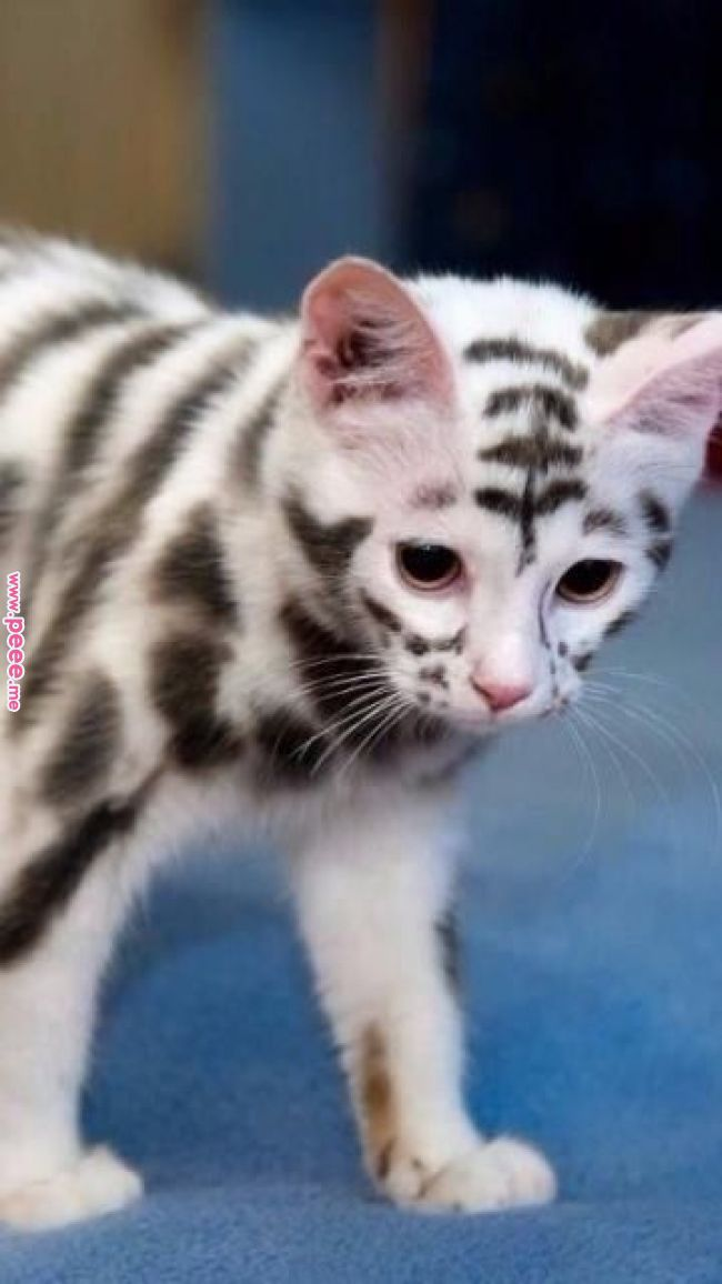 Pin By Dougmark Production S On Cats Are Awesome Pinterest Cats Kittens And Beautiful Cats Cute Cats Cute Cats And Kittens Beautiful Cats