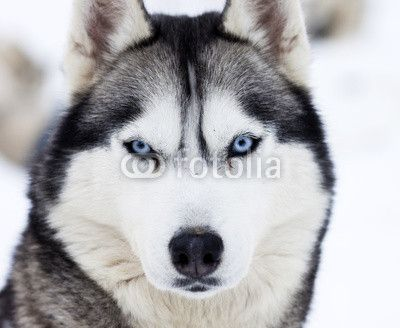 Close Up On Blue Eyes Of Husky Mural Husky Breeds Siberian