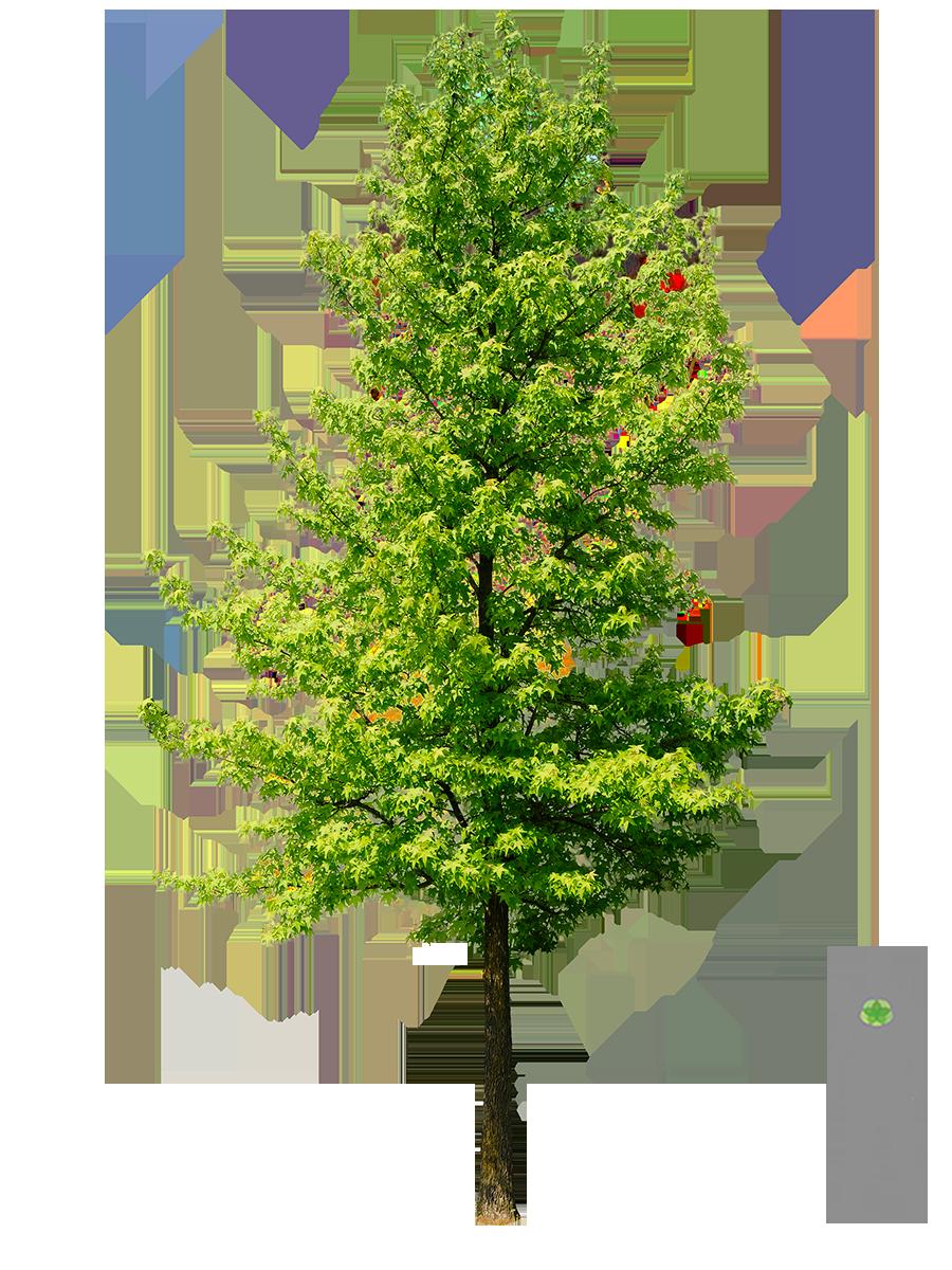 amerikanischer amberbaum art trees pinterest. Black Bedroom Furniture Sets. Home Design Ideas