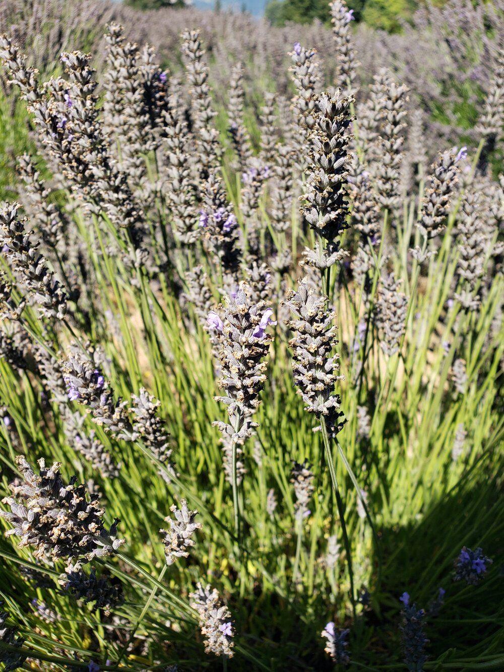 lavender valley hood river fruit loop oregon the sweet savory life in 2020 mount shasta mount shasta california shasta pinterest