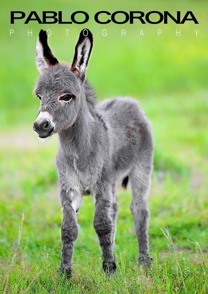 Baby Burro #donkey @Pablo Corona Photography