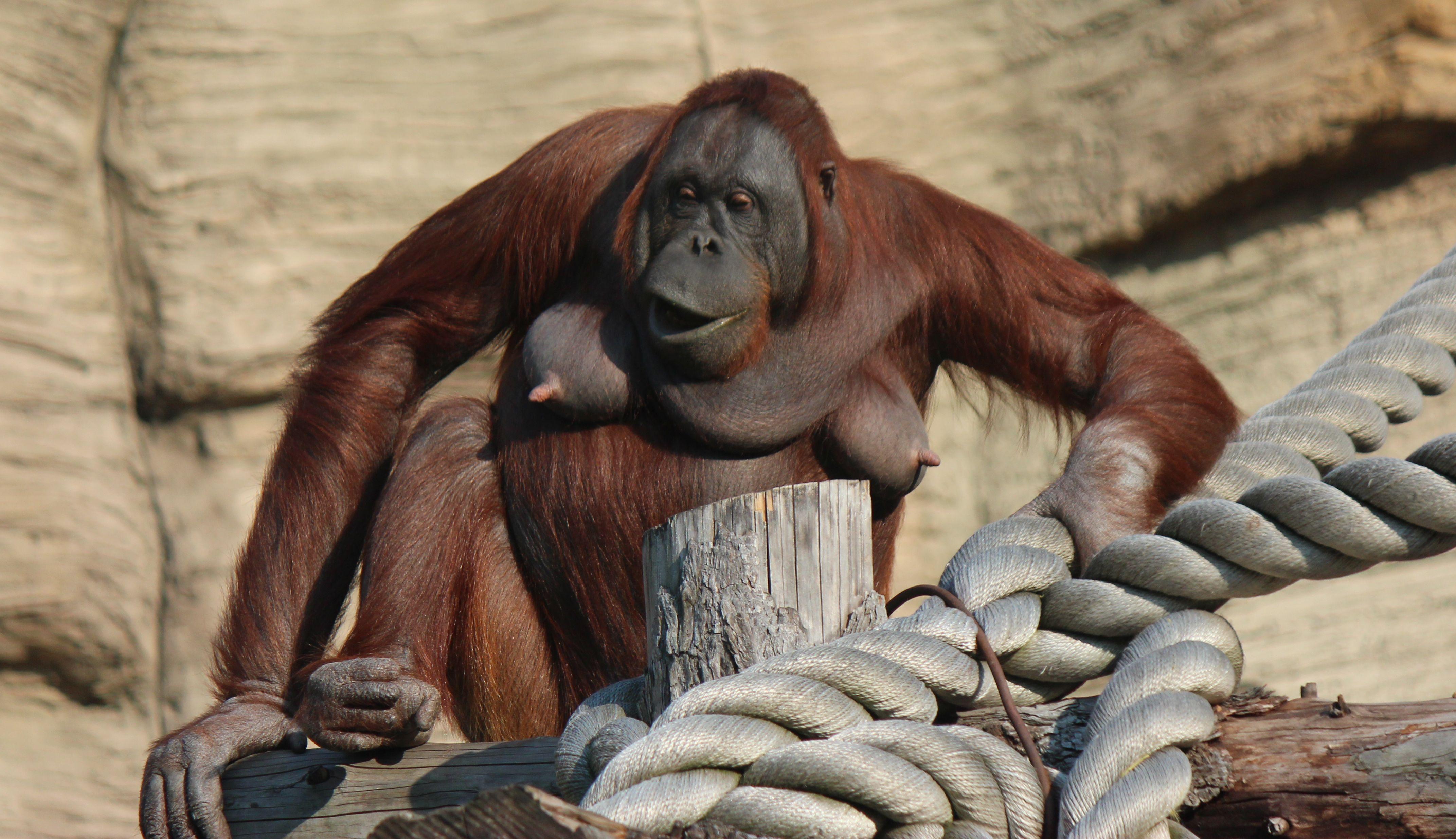 Orangutan female. Moscow zoo.
