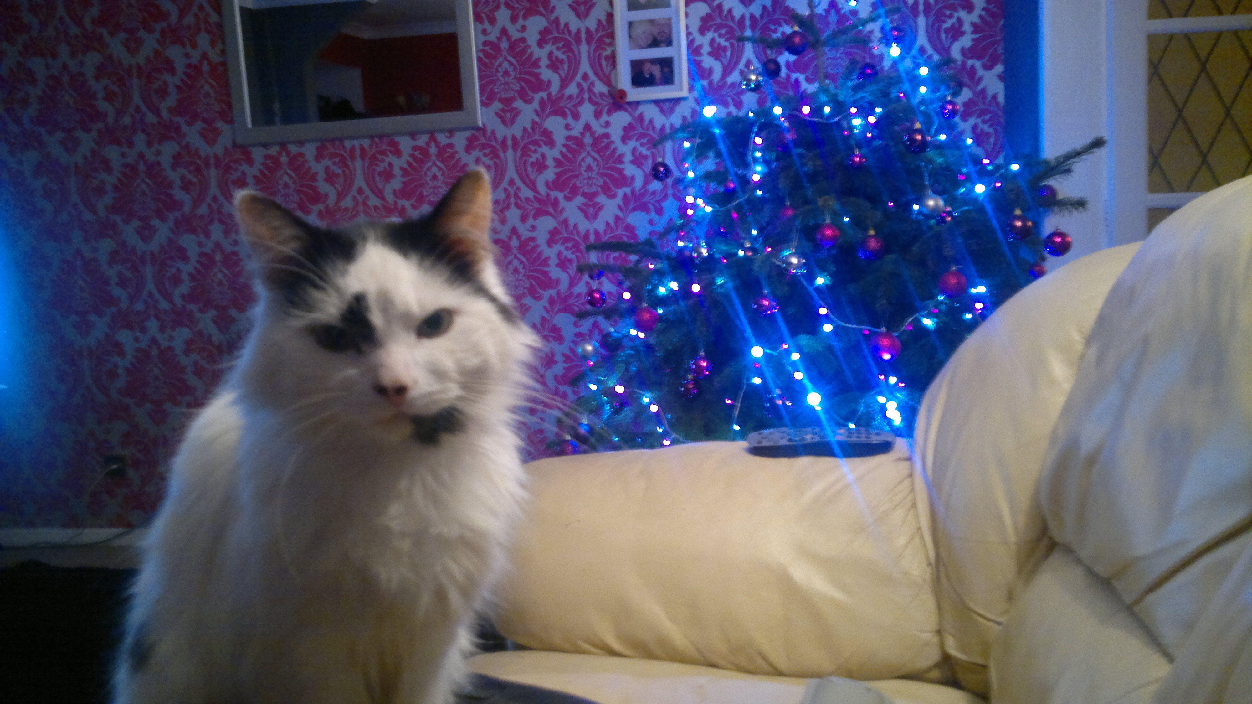 Elmo the Christmas cat