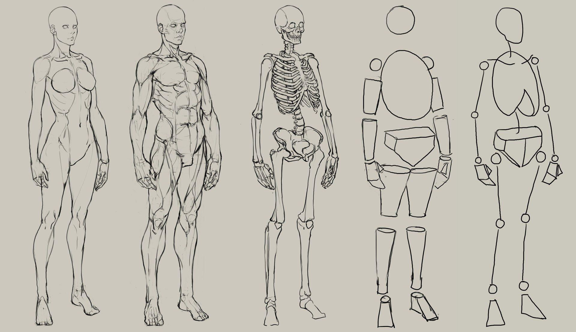 анатомия человека картинки рисование фотографии распространяются