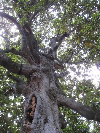 Old Washington Historic State Park Biggest Magnolia Tree In Ar