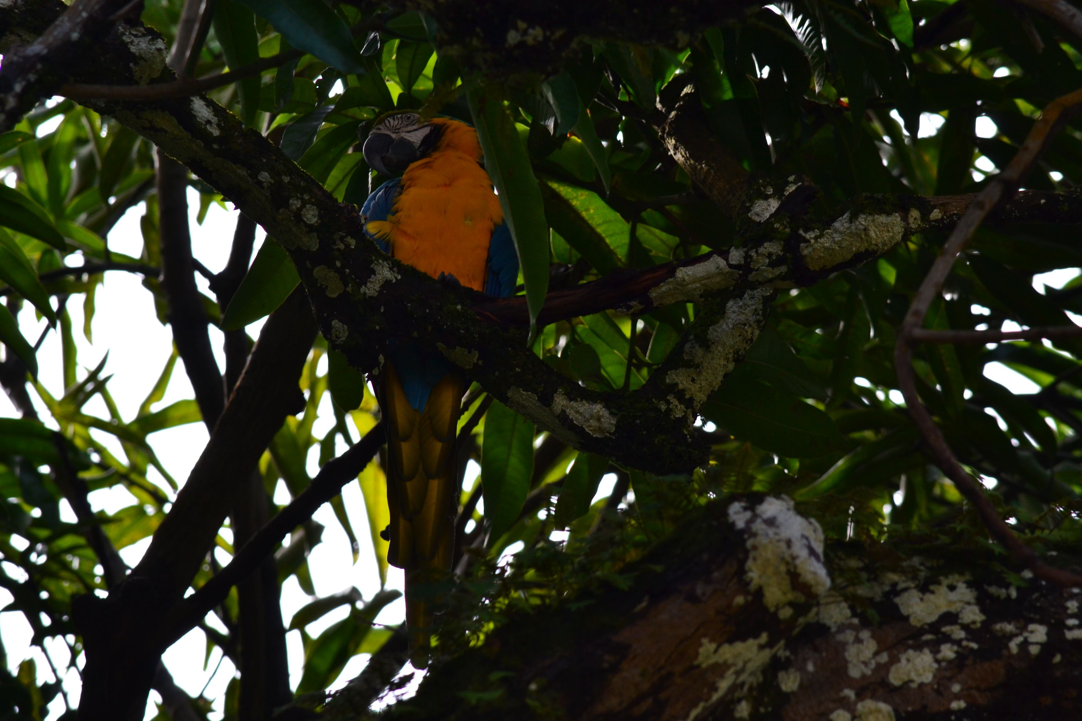 Blue Macaw in the deep shade of a mango tree
