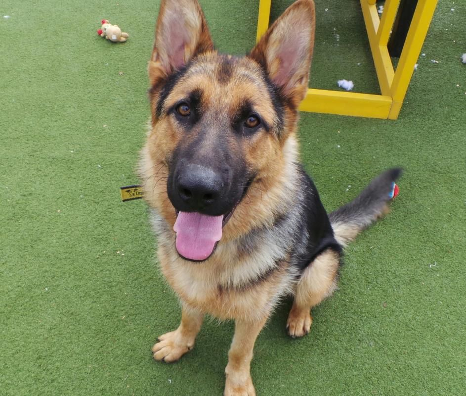 Ted Dogs Trust Dogs Shepherd Dog
