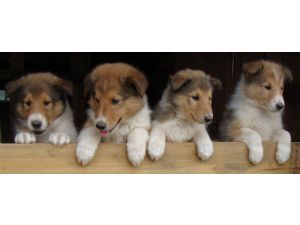Collie Puppies For Sale Collie Puppies Collie Puppies For Sale