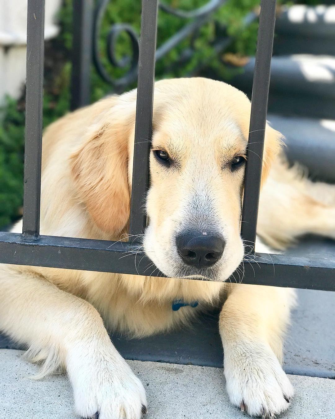 Εν αναμονή golden retrievers pinterest dog animal and pet