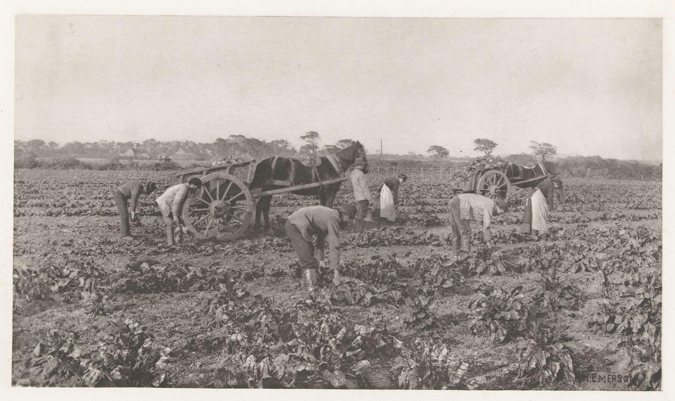 Peter Henry Emerson | Het oogsten van Mangelwortel met de hand, Peter Henry Emerson, G. Bell and Sons, 1884 - 1887 |