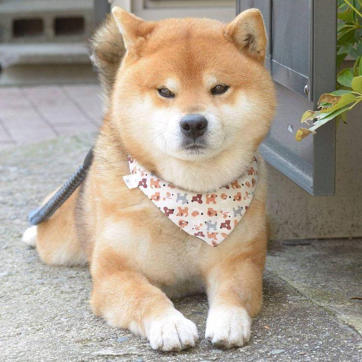 Ryuji Is An Adorable Shiba Inu Puppy Who S Taking Over The Instagram Shiba Inu Puppy Shiba Inu Shiba Puppy