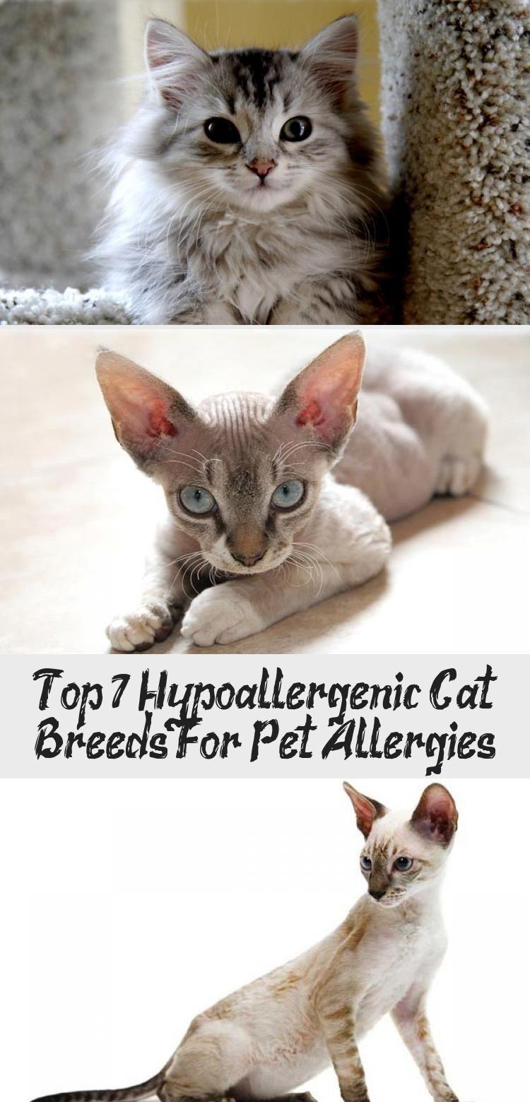 Top 7 Hypoallergenic Cat Breeds For Pet Allergies CATS
