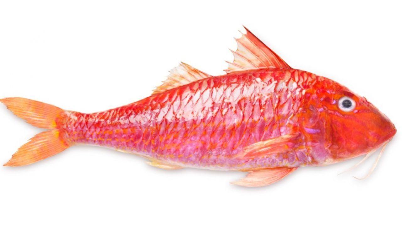 سمك سلطان ابراهيم Fish Fish Pet Animals