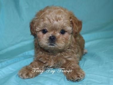 Shih Poo Puppies Teacup Poodle Puppies Shih Poo Puppies