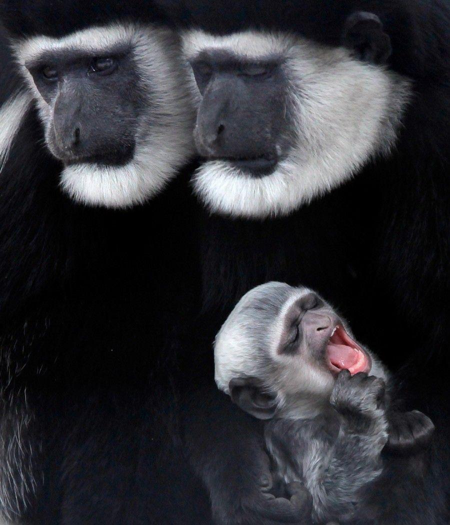 An Abyssinian Black-and-white Colobus Monkey baby yawns at the Nogeyama Zoological Gardens in Yokohama, Japan. (AP Photo/Itsuo Inouye)