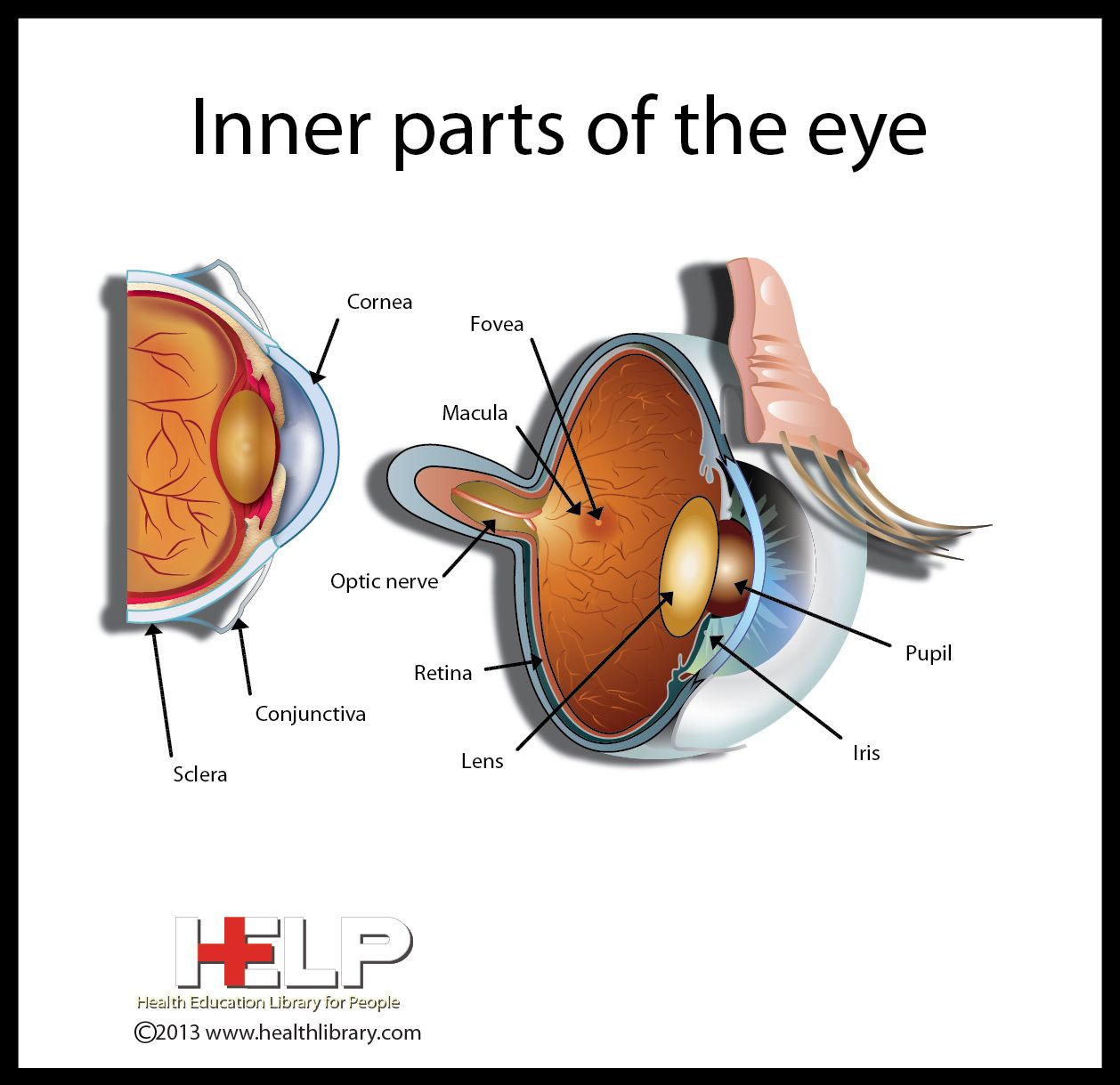 Inner Parts Of The Eye