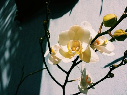Orquídea - Casa da Giuu