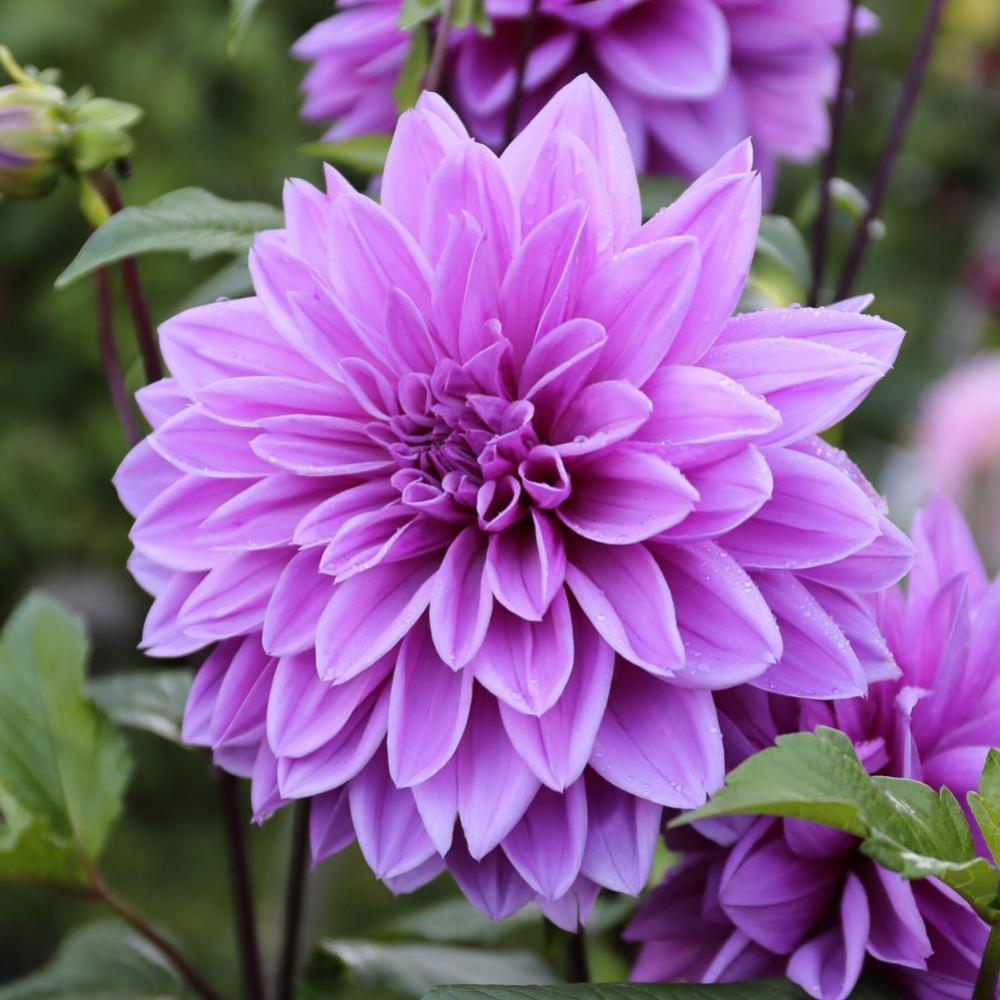 Dahlia Lilac Time Longfield Gardens In 2020 Dahlia Longfield Gardens Lilac