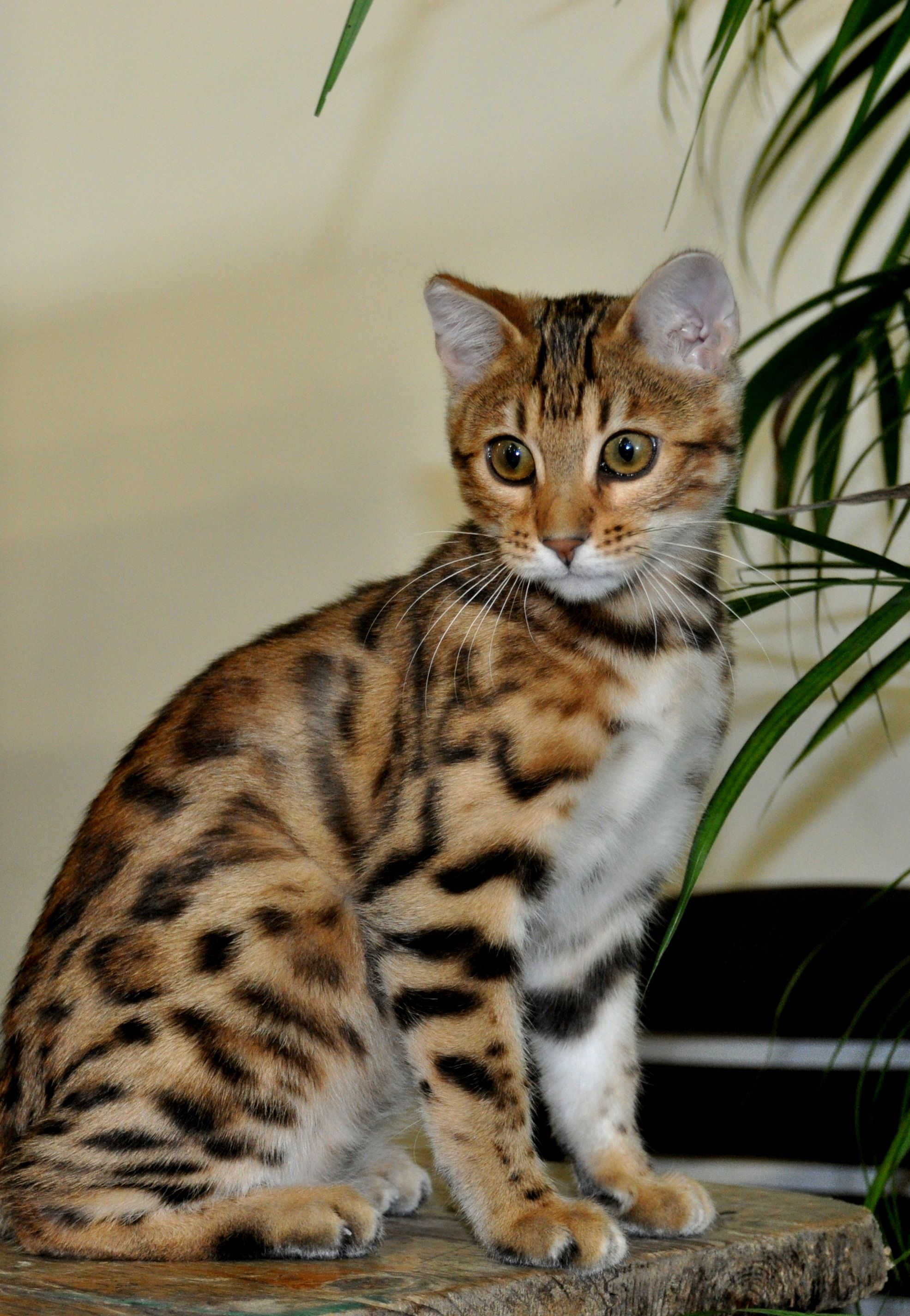 Ears and whited tummy to die for!! Brown/Black spotted tabby ...