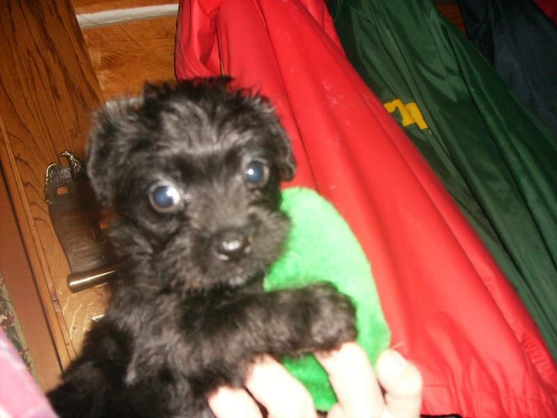 Adopt Curley A Runt On Poodle Mix Dogs Poodle Mix Animal Rescue