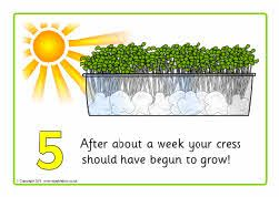 Growing cress instructions | Sequencing เรียงลำดับ | Cress
