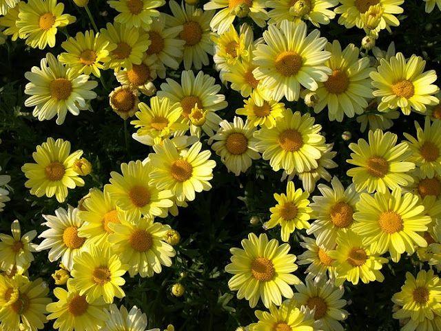 Yellow Marguerite Daisies