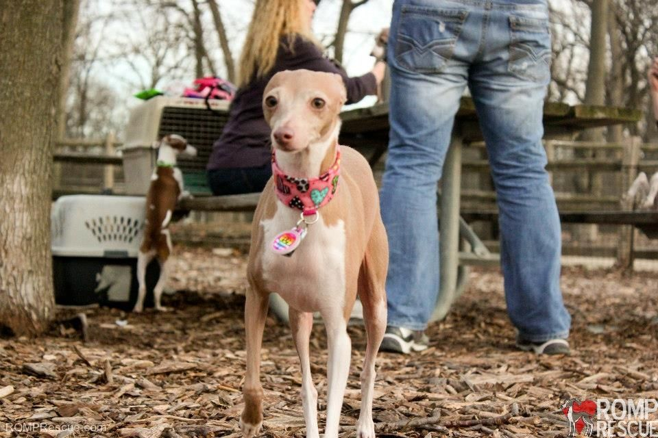 Italian Greyhound Meetup Hosted By Romp Rescue In Chicagoromp