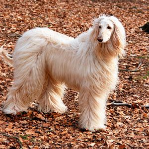 Pin By Imelda Parrenas On Happy Mothers Day Mommy I Love You Dearly Dog Breeds Afghan Hound Spitz Type Dogs