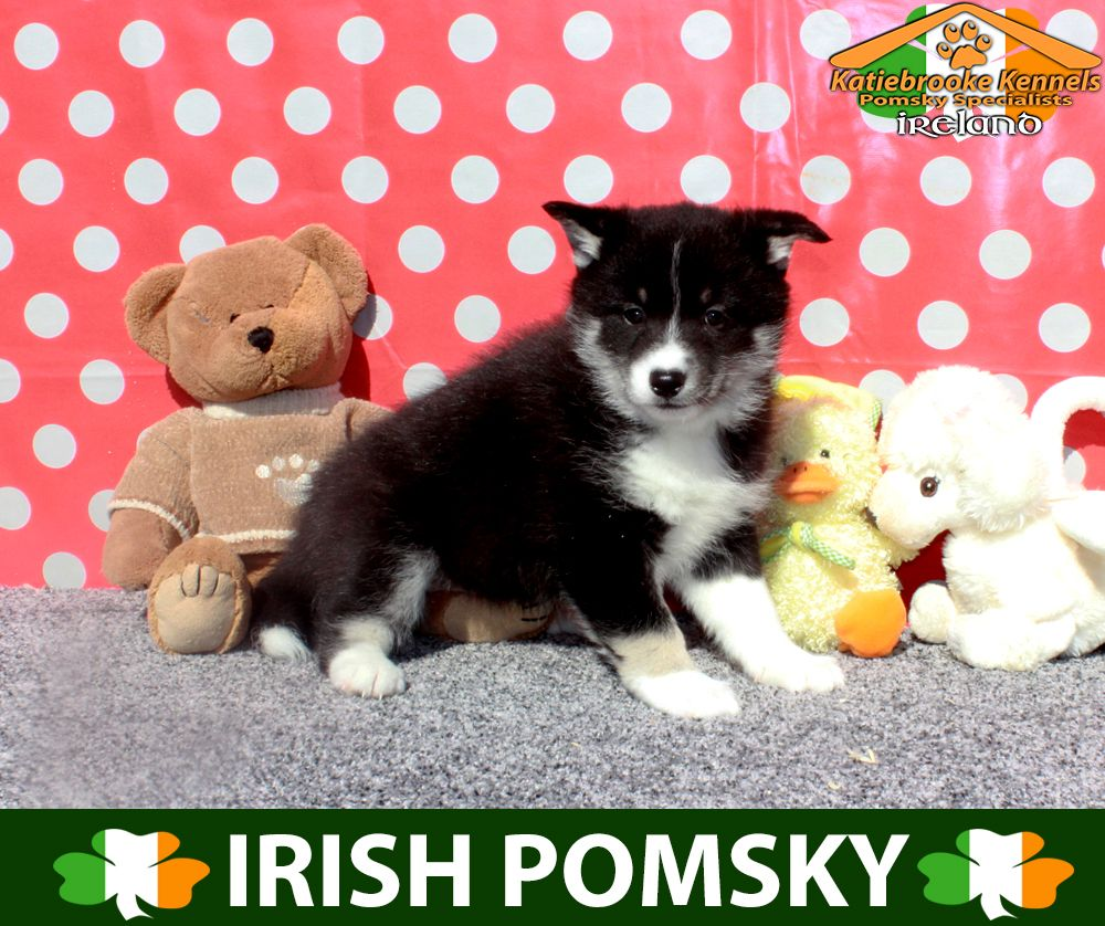 White Pomsky Puppies For Sale Uk References