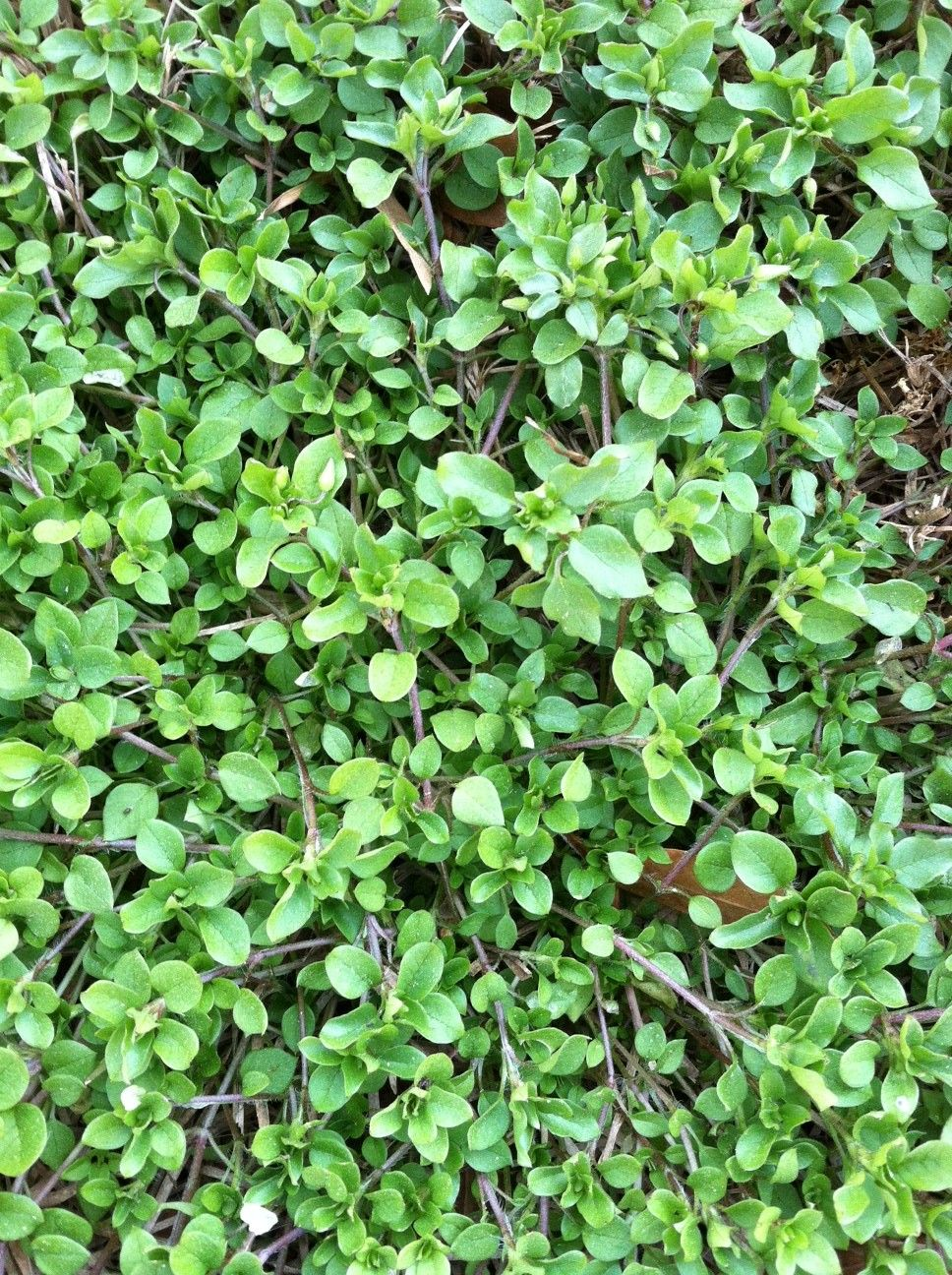 Purslane is a common broad leaf weeds found in savannah for Weeds garden maintenance