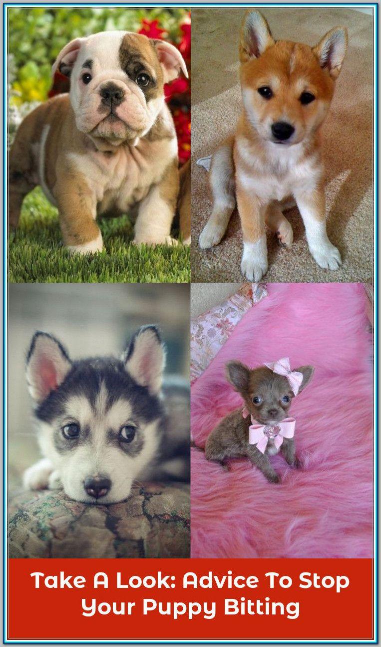 Basset Hound Dog For Adoption In Houston Tx Adn 553060 On