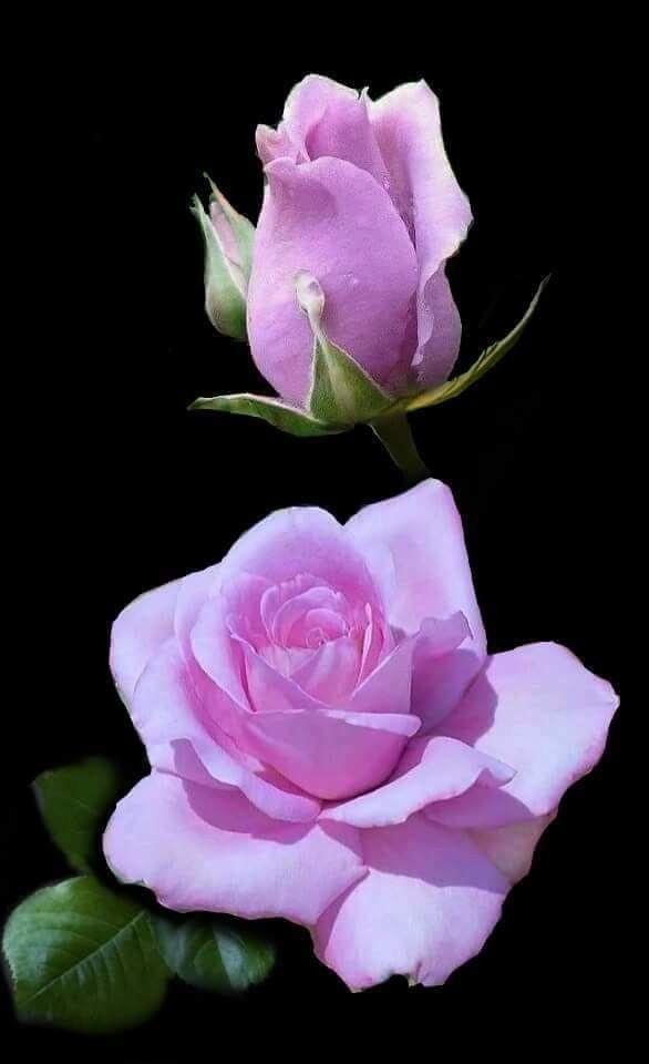 Nnal roses pinterest flowers pretty flowers and beautiful nnal roses pinterest flowers pretty flowers and beautiful flowers mightylinksfo Choice Image