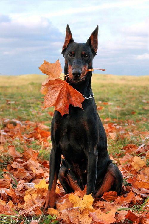 Autumn Doberman