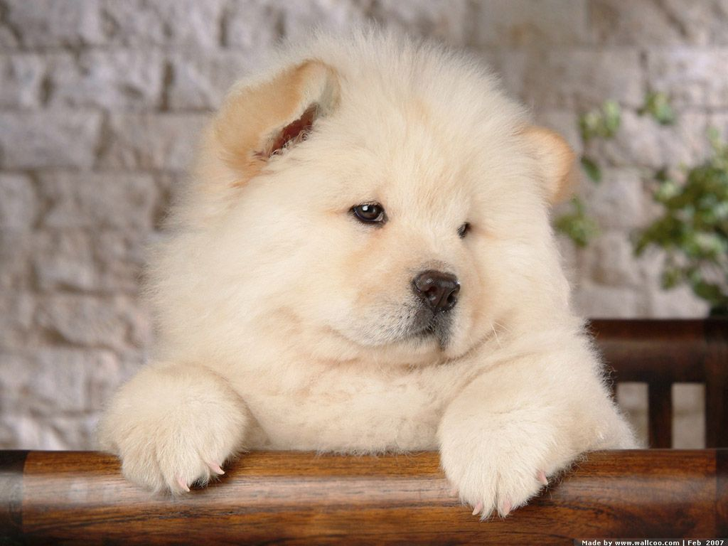 White Cute Chow Chow Puppy Wearing Blue Bow Hunde Hunde Welpen